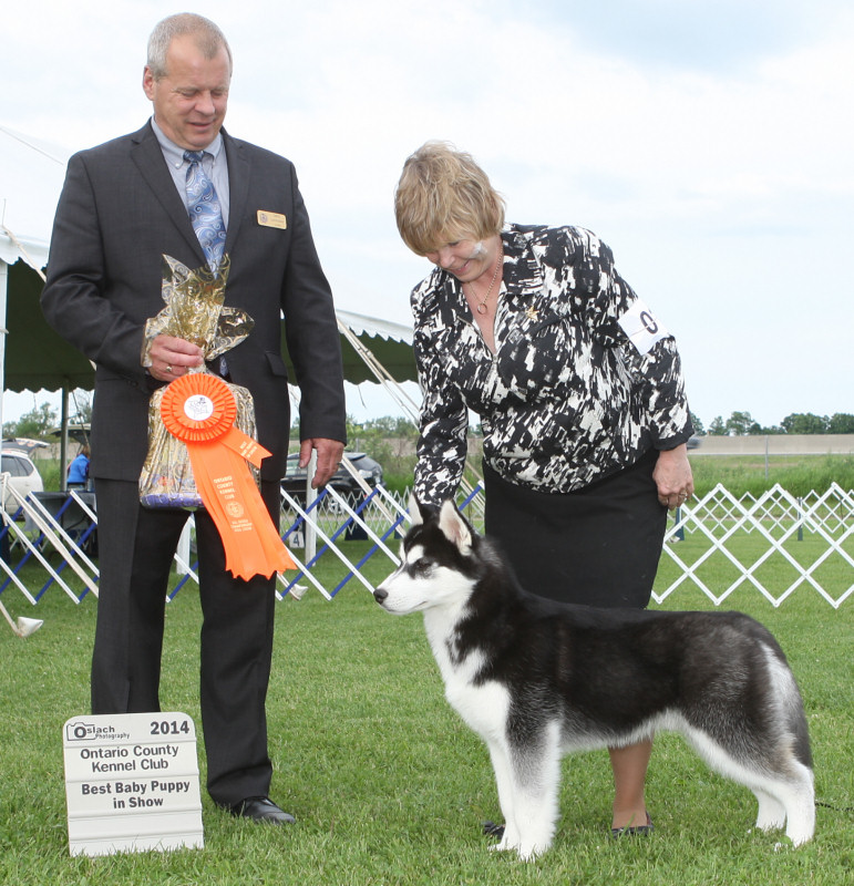 Best Baby Puppy in Show - Day 1, Siberian Husky