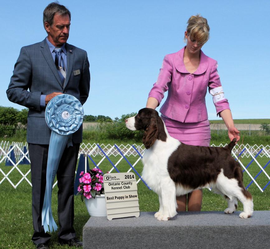 Best Puppy in Show - Day 3, English Springer Spaniel