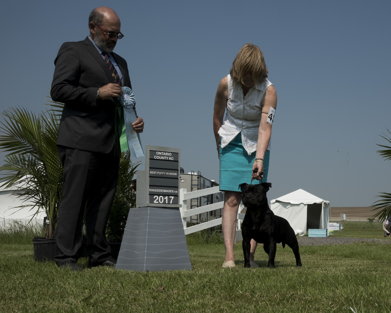 Best Puppy in Show Sunday - Staffordshire Bll Terrier