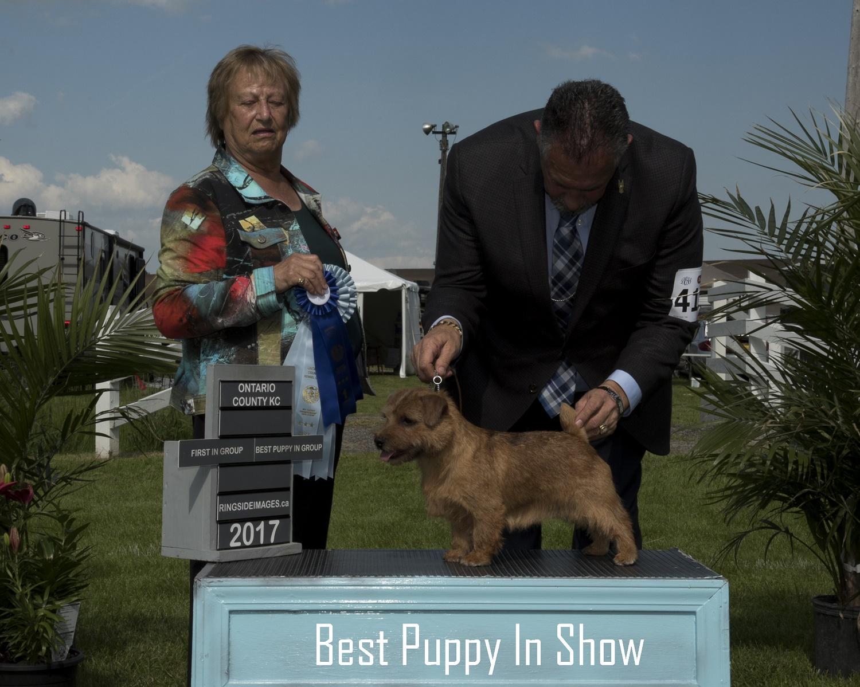 Best Puppy in Show #2 - Norfolk Terrier